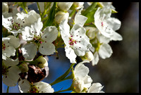 Flowering Pear Tree-1