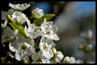 Flowering Pear Tree-3