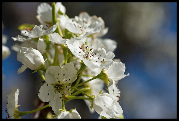 Flowering Pear Tree-2